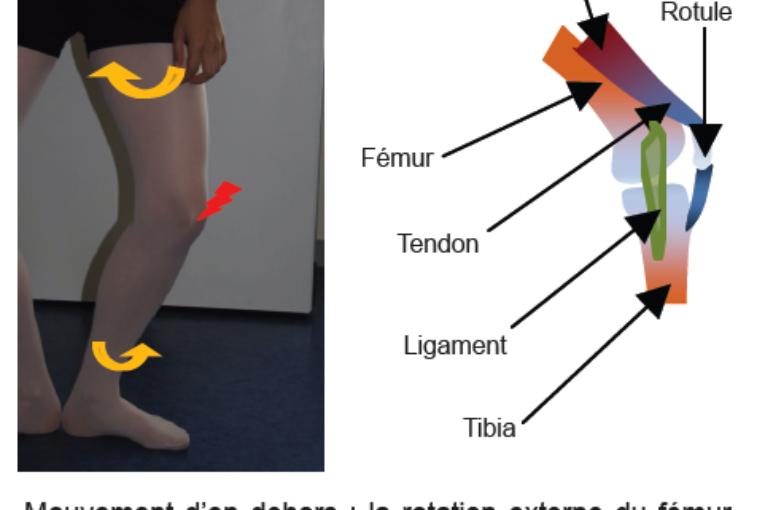 Le genou : pivot fonctionnel du membre inférieur