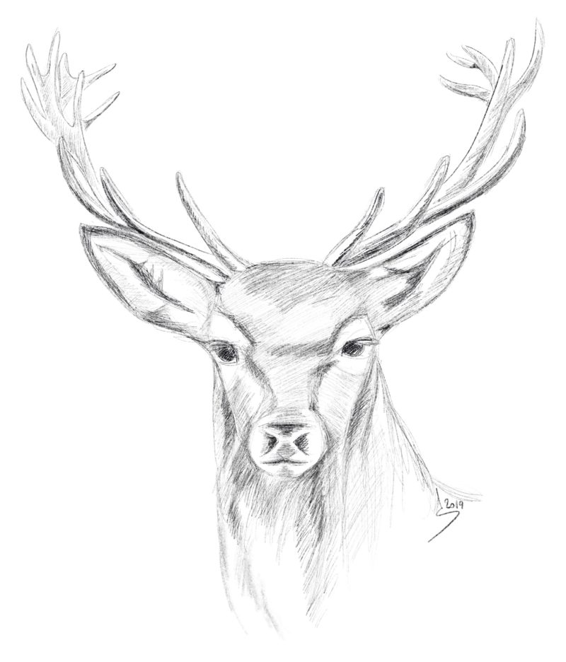 Cerf (dessin d'Anouk